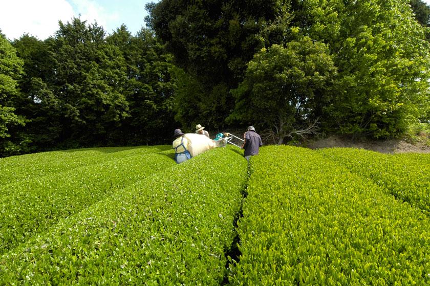 可搬お茶刈り機での、一番茶のお茶刈り。日光を浴びた茶葉はカテキンが豊富。