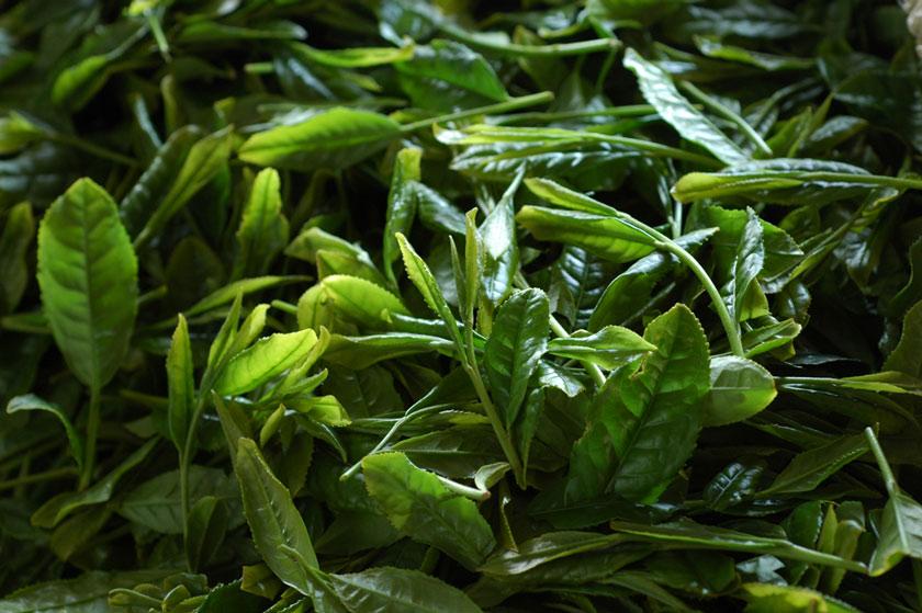 摘み取ったばかりの一番茶の新芽。茶葉が新鮮であればあるほど、雑味の無い、繊細な風味の深蒸し茶になります。